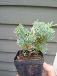 'Blue Rug' Juniper, evergreen plant, ground cover, bonsai