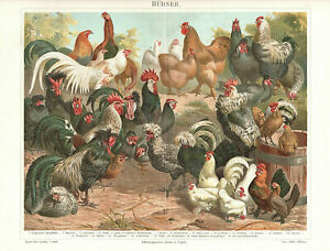 CHICKEN and ROOSTER BREEDS 1895 vintage original German Chromolithograph print $19.50