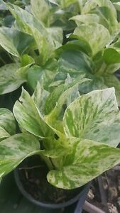 Marble Queen Pothos 6 Leaves in 4quot; Pots Easy Tropical Indoors Outdoors plants $2.99