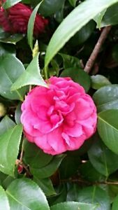 15 Fresh Cuttings of Camellia Japonica Unrooted Shrubs Cuttingsquot;Winters Joyquot;