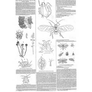 APHIS VASTATOR Supposed Cause of the Potato Disease Antique Print 1847 GBP 12.95