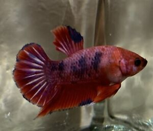 Rare Fancy Plakat Betta Fish Born In The USA $23.00