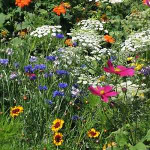 DROUGHT RESISTANT Wildflower Mix 25 Species Dry Area Flowers Non GMO 500 Seeds $3.49