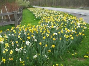 Fresh WILD DAFFODIL 25 bulbs LENT LILY BUTTERCUPs Free Shipping