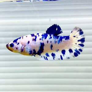 US SELLER A Grade Female Polkie Halfmoon Plakat Betta imported from Thailand $39.95