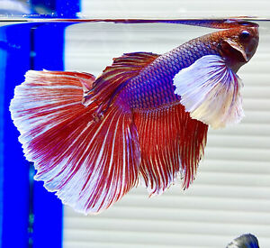 US SELLER AGrade Male Lavender Big Ears Halfmoon Dumbo Betta imprtd frm Thailand $34.95