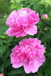 LIVE PLANT Pink Peony root 8 10 inches long with many eyes