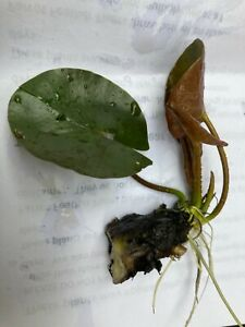 2 Pack **SMALL STARTER** Hardy Water Lily Pad Tuber Rhizome White