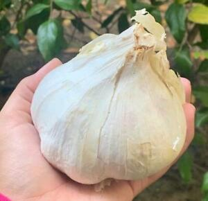 Elephant Garlic 2 huge bulbs fresh for planting eating and cooking California $22.99