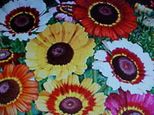 1/4-POUND RAINBOW COLOR PAINTED DAISY FLOWER SEED