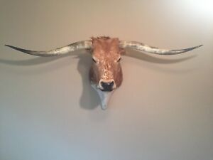 Texas Longhorn Steer Taxidermy Shoulder Mount Nice Colors Great Condition