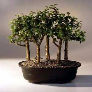 Baby Jade Bonsai 5 Tree Froest Group  Portulacaria Afra Indoor 6 - 9