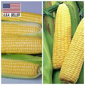 100+ Super Sweet yellow Corn Incredible seeds NON-GMO Open pollinated, USA-SELL!