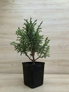 Dwarf Juniper Pre Bonsai Tree Flaky Bark Shohin Evergreen