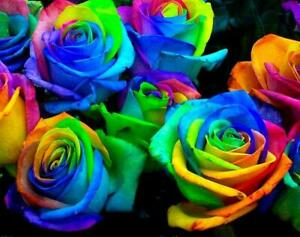 99 seeds cheap rare multi perfume Color RAINBOW Rose flower home garden cocktail