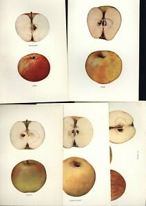 LOT OF 5 APPLE PRINTS APPLES OF NEW YORK VINTAGE LITHOGRAPHS c1905 $14.95