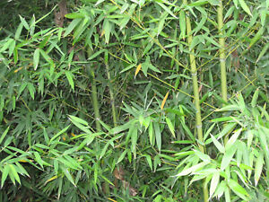 Two Live Bamboo Plants , Ready To Be Planted , ***Fast Free Shipping***