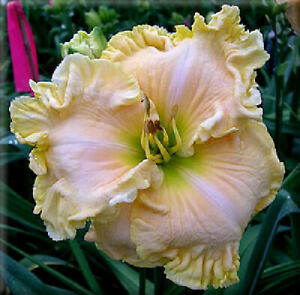 Across The Galaxy Daylily Plant 2 Fans