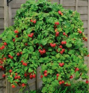 Red Super Sweet raspberry Live Plant One Year Old 12-18 Inches Free Shipping