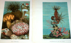 ca. 1890 Two Antique Lithographs ; Sea Cucumber Sea Anemone Sea Star Animals $26.00