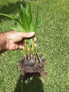 12 Christmas palm tree Seedlings 7-10 inches