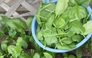 200 Spinach Seeds Viroflay Spinach Spinacia oleracea Persia Vegetable USA