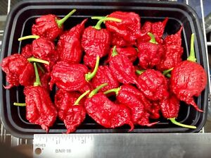 """Carolina Reaper pepper plants red three count 3"""" to 5"""" tall FREE SHIPPING"""
