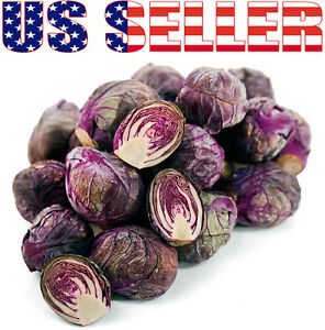 30+ ORGANICALLY GROWN Rubine Brussels Sprouts Purple Red Heirloom NON-GMO Rare!