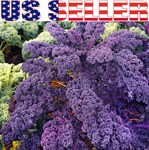 100+ ORGANICALLY GROWN Scarlet Kale Seeds Heirloom NON-GMO Violet Red Rare Tasty