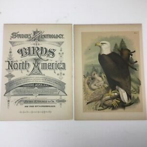 1878 CHROMOLITHOGRAPH THE WHITE HEADED EAGLE STUDER'S BIRDS OF N. AMERICA LH339P $50.00