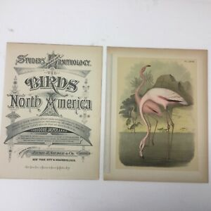 1878 CHROMOLITHOGRAPH Amercian or Red Flamingo STUDERS BIRDS OF N AMERICA LH339Q