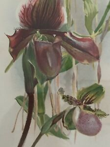 ANTIQUE  BOTANICAL PRINT LADY'S SLIPPER ORCHID  BY H. MOON FRAMED   17