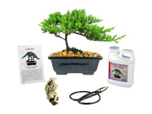Eve's Small Japanese Juniper Bonsai Tree Gift Kit 6 Year Old Tree Perfect Gift