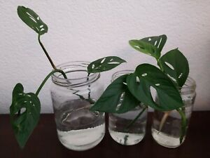 Monstera Adansonii Rooted Swiss Cheese Plant Cutting