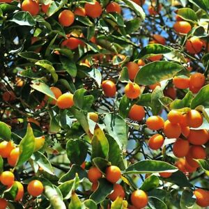 10x CALAMONDIN CALAMANSI KALAMANSI Organic Orange Citrus Seeds easy germination