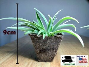 Baby Ocean Spider Live Plant Easy to Grow Cleans the Air Indoors Plant