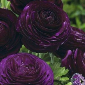 FREE SHIPPING USA 10 Ranunculus Aviv Purple Bulbs Persian Buttercup Corms