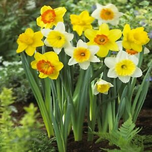 Daffodil Bulbs Trumpet Mix Daffodils A mixed variety of Daffodils colors. $18.00