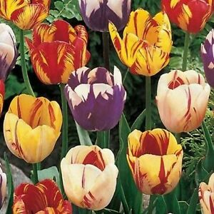 Tulip Bulbs Rembrandt Mixed Tulip Flower Bulbs Fall Planting for Spring Bloom $8.00