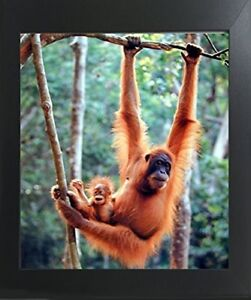 Orangutan and Baby Waving Monkey Wall Contemporary Black Framed Picture 20x24 $54.98