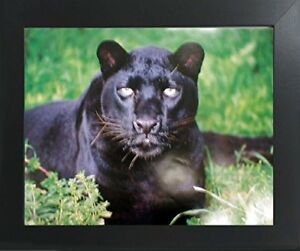 Black Leopard Panther Animal Wildlife Wall Contemporary Black Framed Picture $54.98