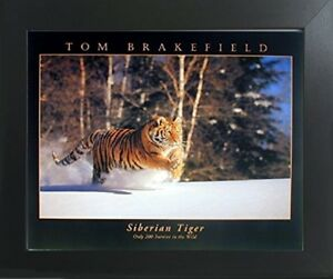 Siberian Tiger Tom Brakefield Wild Animal Wall Contemporary Black Framed Picture $54.98