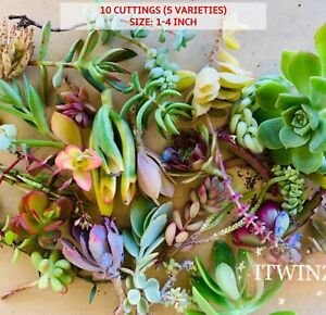 25 Assorted Succulent Cutting purple pink green Japan Imported Live plant cactus
