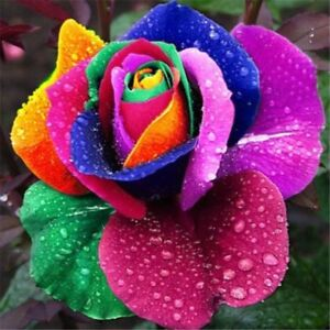 Bonsai Seeds Perennial Plant Holland Rainbow Rose Flower Multi-color Home Garden