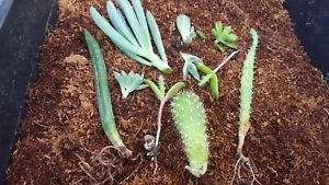 10 Succulent Cuttings 7 varieties some with roots