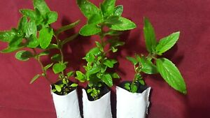 3 wild Live Peppermint plants rooted in soil 5