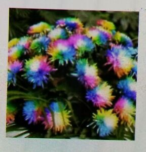 500 Pcs Rainbow Chrysanthemum Flower Seeds Rare