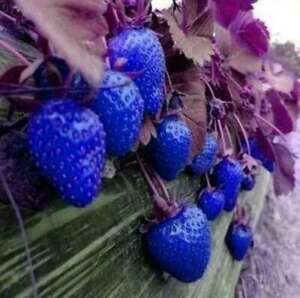 100Pcs Rare Blue Strawberry Seeds Home Garden Fresh Fruit Vegetable Plants Seed