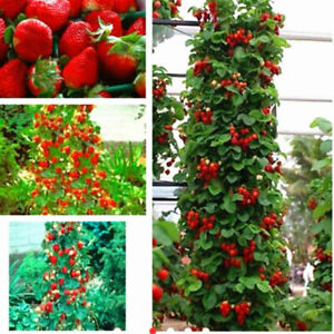 100pcs Red Strawberry Seeds Climbing Home Garden Fruit Plant FAST FREE SHIPPING