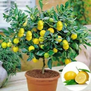 Lemon Dwarf Tree Bonsai Plant For Home Garden Organic Fruit Seeds Edible 10 Pcs